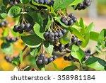 black ashberry  aronia...   Shutterstock . vector #358981184