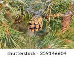 Frosty Spruce Twig With A Cone...