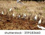 white heron on field thailand | Shutterstock . vector #359183660