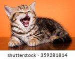 British Striped Ginger Kitten...