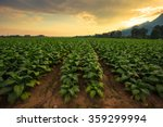 Tobacco Field With Beautiful...