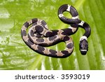 Small photo of Ornate snail eating snake (Dipsas catesbeyi)