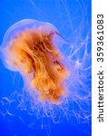 Small photo of Lion's Mane Jellyfish (cyanea capillata) with toxic tentacles