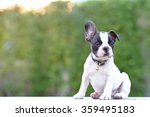 Stock photo french bulldog puppy 359495183