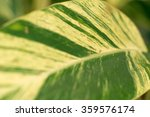 Small photo of Variegate shellflower's colorful leaf closeup (Alpinia speciosa 'Variegata')
