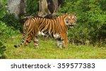 Bengal Tiger Standing Timber
