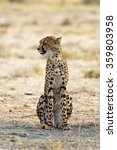 Small photo of Young cheetah (Acinonyx jubatus) resting in the shade in Etosha National Park, Namibia. Shallow depth of field with room for text.