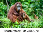 A Female Of The Orangutan With...