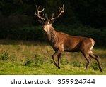 Red Deer  Cervus Elaphus  At...