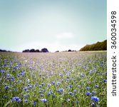 meadow with blue cornflowers ... | Shutterstock . vector #360034598