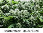 indoor marijuana bud under... | Shutterstock . vector #360071828