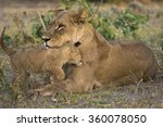 lion cub nuzzles his mother.  | Shutterstock . vector #360078050