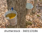 Pail Used To Collect Sap Of...