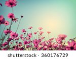 Landscape Of Cosmos Flower...