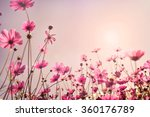 Pink Tone Of Cosmos Flower...