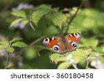 Peacock Butterfly  Aglais Io ...