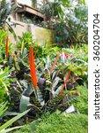 Small photo of Aechmea fasciata flowers in bloom in garden