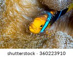 A Clownfish Tucked Into It's...