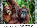 a female of the orangutan with... | Shutterstock . vector #360257138