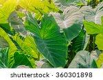 a field of taro plants | Shutterstock . vector #360301898