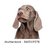 Stock photo weimaraner dog isolated on white 360519578