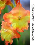Yellow And Orange Gladiolus