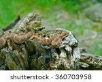 Small photo of A close up of the venomous snake (Agkistrodon saxatilis) on stump.