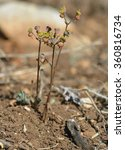 Euphorbia Dimorphocaulon Rare...