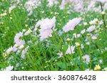 white chrysanthemum pink...   Shutterstock . vector #360876428