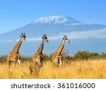 Giraffe In National Park Of...