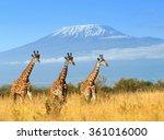 Giraffe In National Park Of...