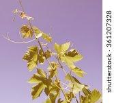 Small photo of Vintage looking Grapevine (plantae magnoliophyta magnoliopsida rosidae vitales vitaceae vitis)