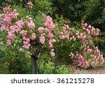 Pink Rambling Rose  Rosa  In A...