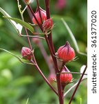 Small photo of Roselle flowers,red Roselle flowers in the garden,Jamaica Sorrel flowers