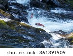 Jumping Salmon In A River