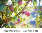 Plum Tree With Purple Plums