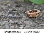 Small photo of Shrew. Young mammal classified in the order Soricomorpha. Donetsk region, Ukraine