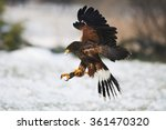 Harris Hawk In Flight Above...