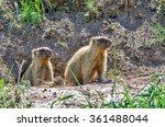 steppe marmot   marmota bobak | Shutterstock . vector #361488044