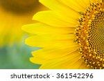 Sunflower Close Up. Bright...