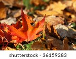 Fallen bright maple leaf, autumnal background - stock photo