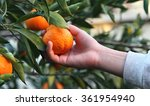 picking clementines | Shutterstock . vector #361954940