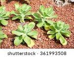 Desert Cabbage Paddle Plant...