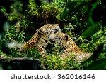 Jaguar Snuggle.
