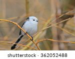 Small photo of Long-tailed Tit, Aegithalos caudatus on a willow twig