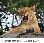Young Lion Yawns. Funny...