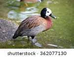 White Faced Whistling Duck In...