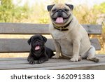 The Smile Of Pug Dog The Blac...