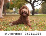 Pet Labradoodle Laying In...