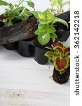 Small photo of Seedlings of flowers coleus and petunia on a light wooden background
